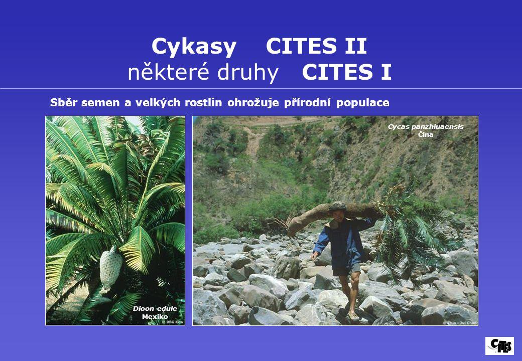 Cykasy CITES II některé druhy CITES I