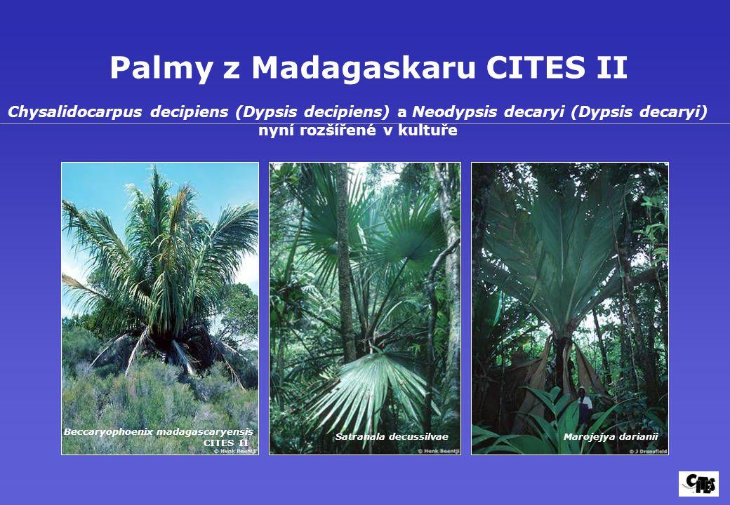 Palmy z Madagaskaru CITES II