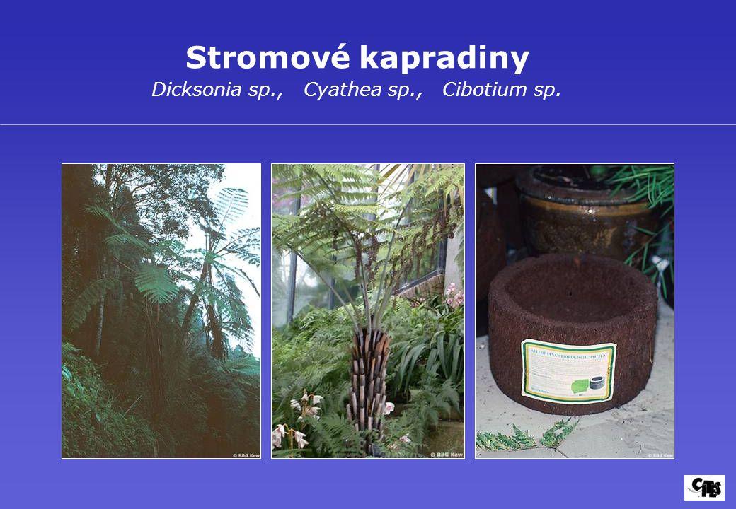 Stromové kapradiny Dicksonia sp., Cyathea sp., Cibotium sp.