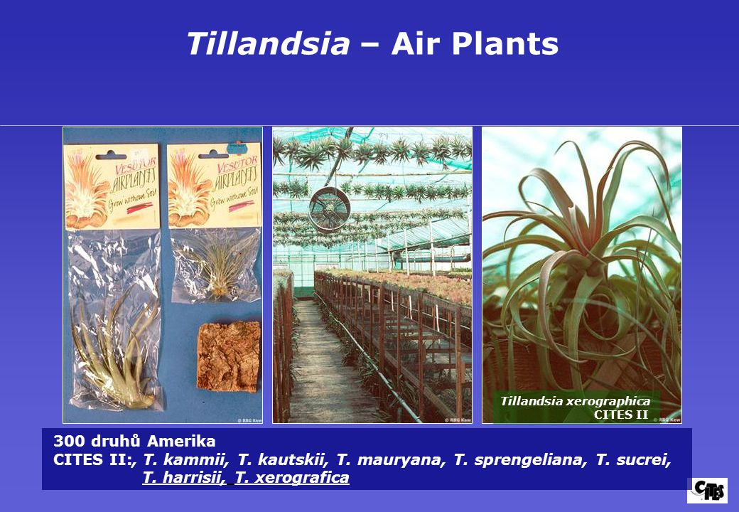 Tillandsia – Air Plants