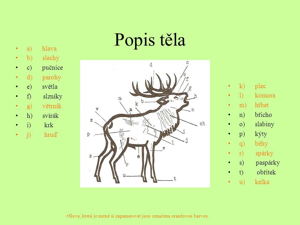 Popis těla a) hlava b) slechy c) pučnice d) parohy e) světla