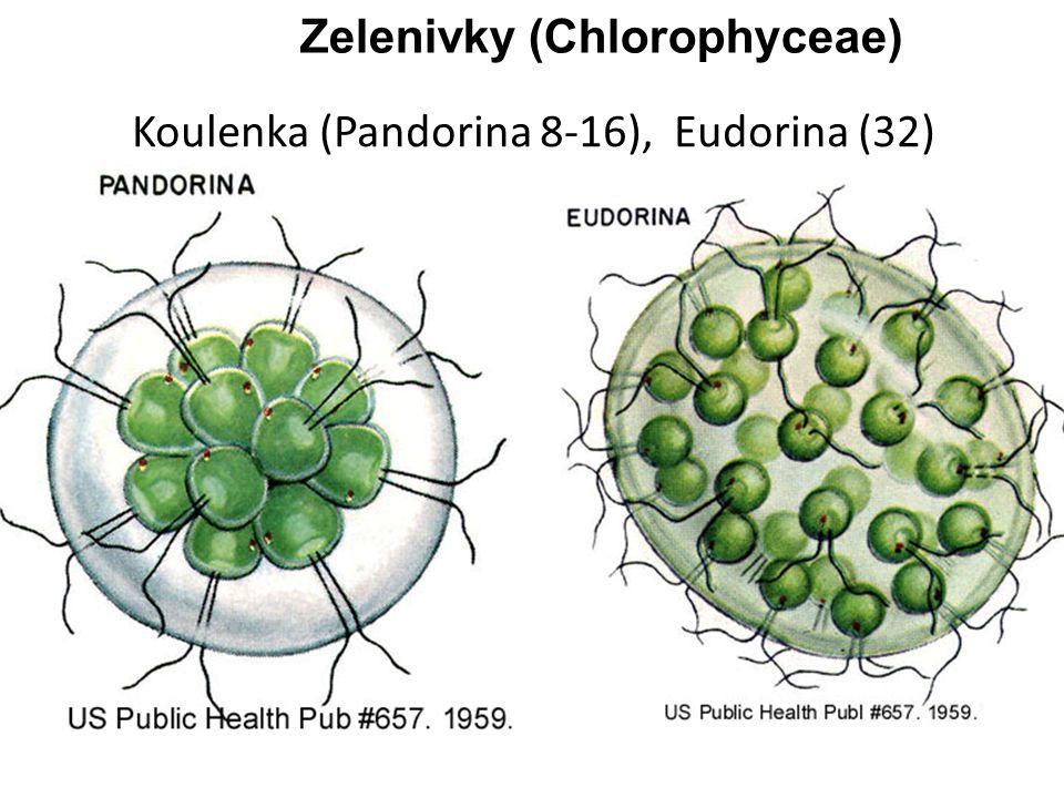 Koulenka (Pandorina 8-16), Eudorina (32)