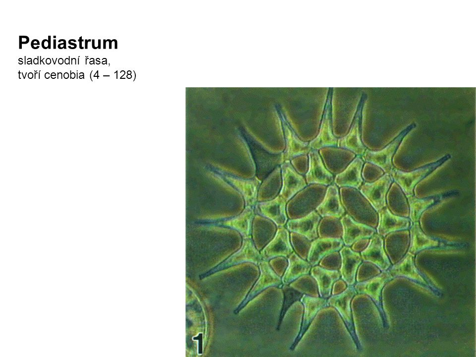 Pediastrum sladkovodní řasa, tvoří cenobia (4 – 128)