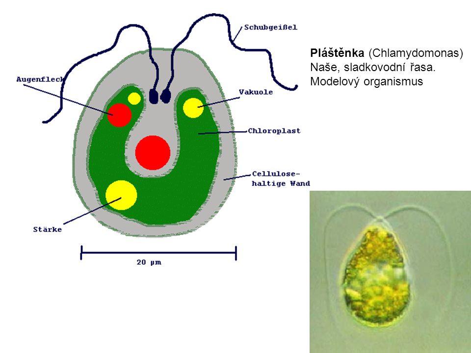 Pláštěnka (Chlamydomonas)