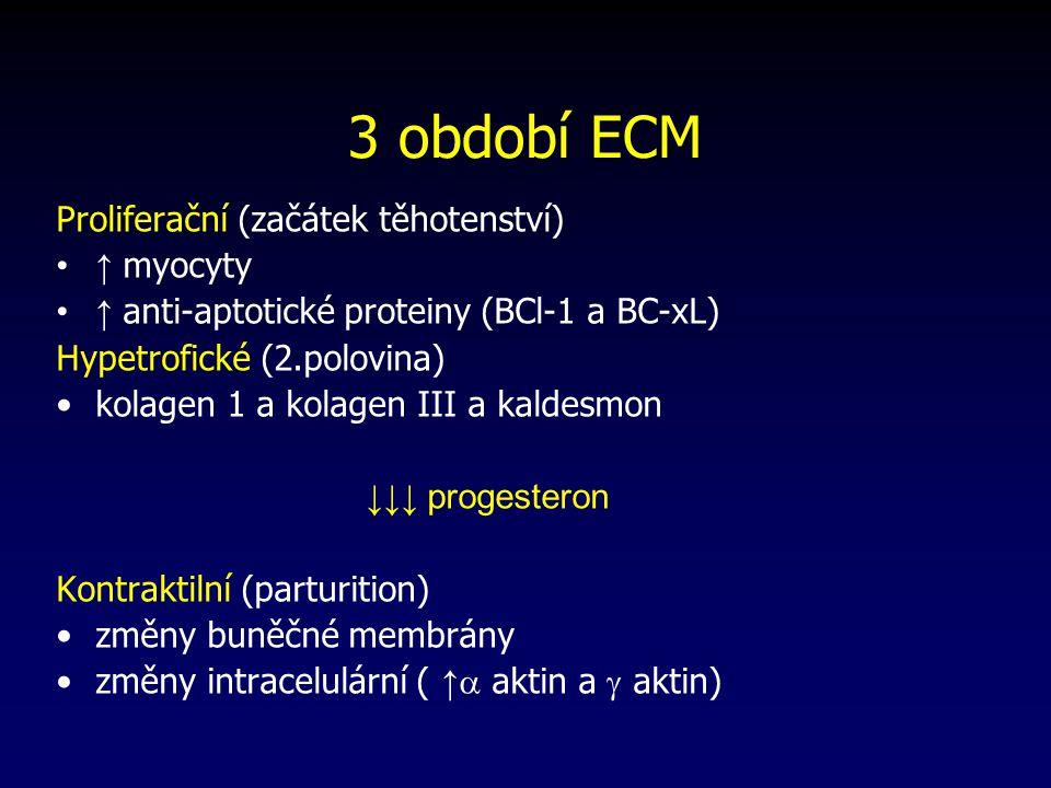 3 období ECM Proliferační (začátek těhotenství) ↑ myocyty