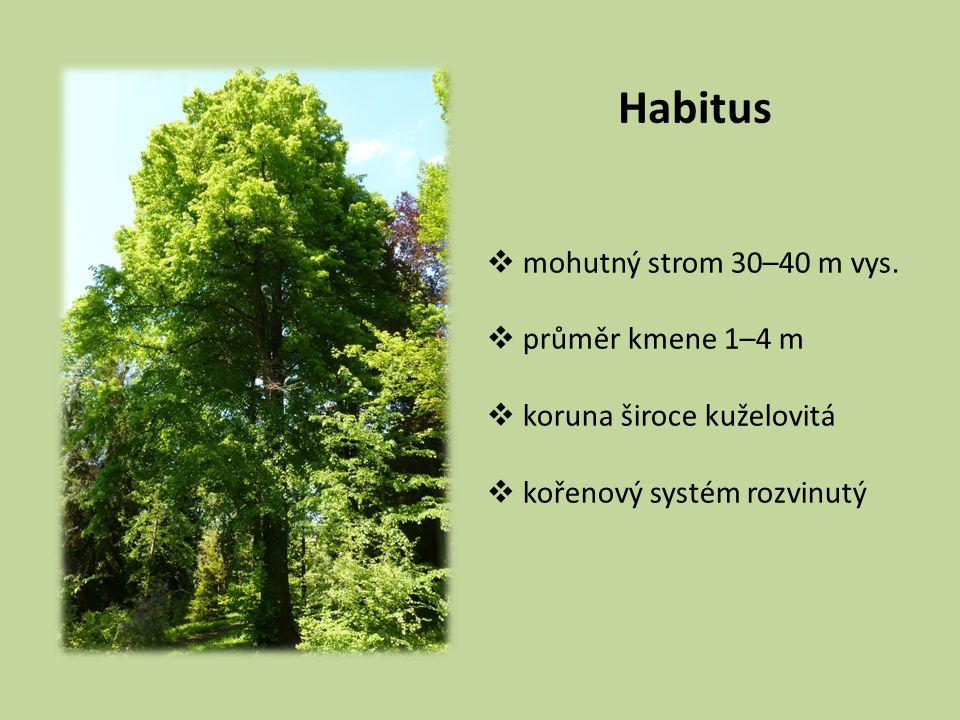Habitus mohutný strom 30–40 m vys. průměr kmene 1–4 m