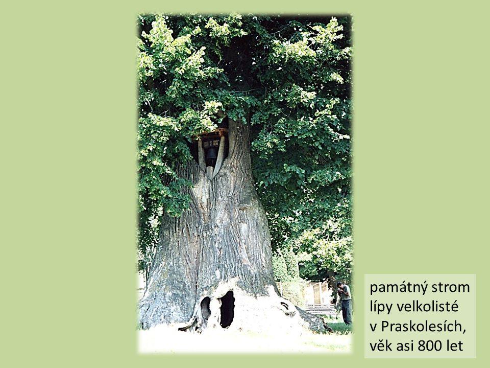 památný strom lípy velkolisté v Praskolesích, věk asi 800 let
