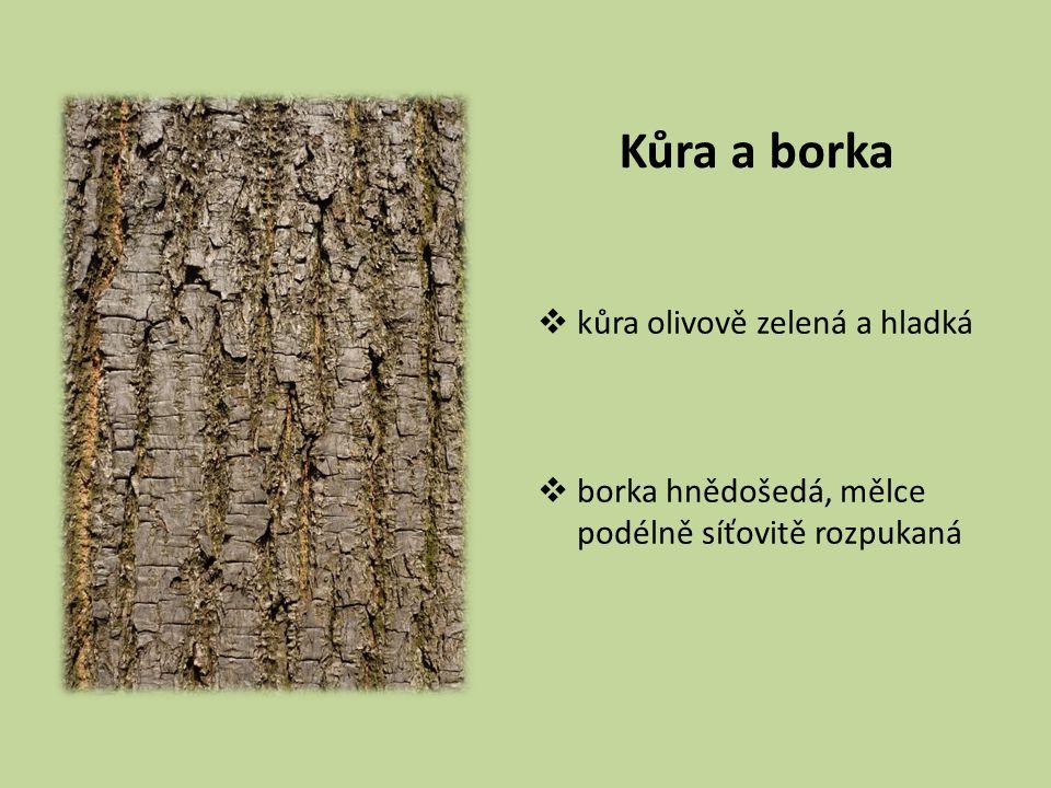 Kůra a borka kůra olivově zelená a hladká borka hnědošedá, mělce