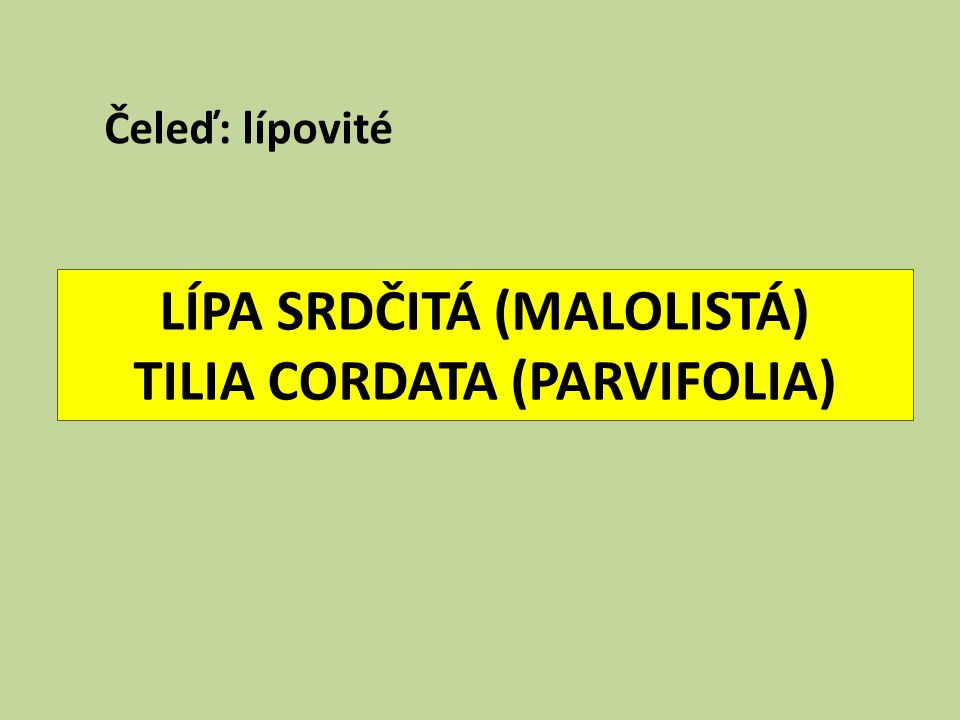 LÍPA SRDČITÁ (MALOLISTÁ) TILIA CORDATA (PARVIFOLIA)