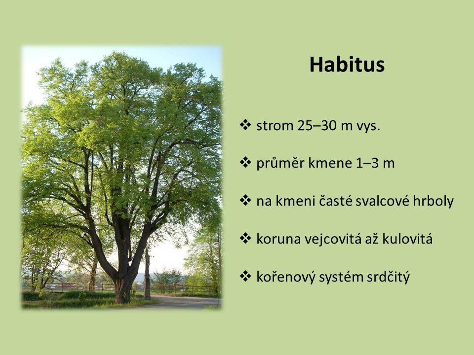 Habitus strom 25–30 m vys. průměr kmene 1–3 m