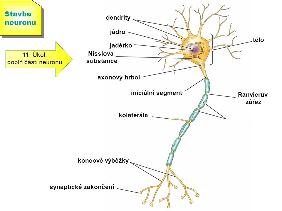 Stavba neuronu dendrity jádro tělo jadérko 11. Úkol: