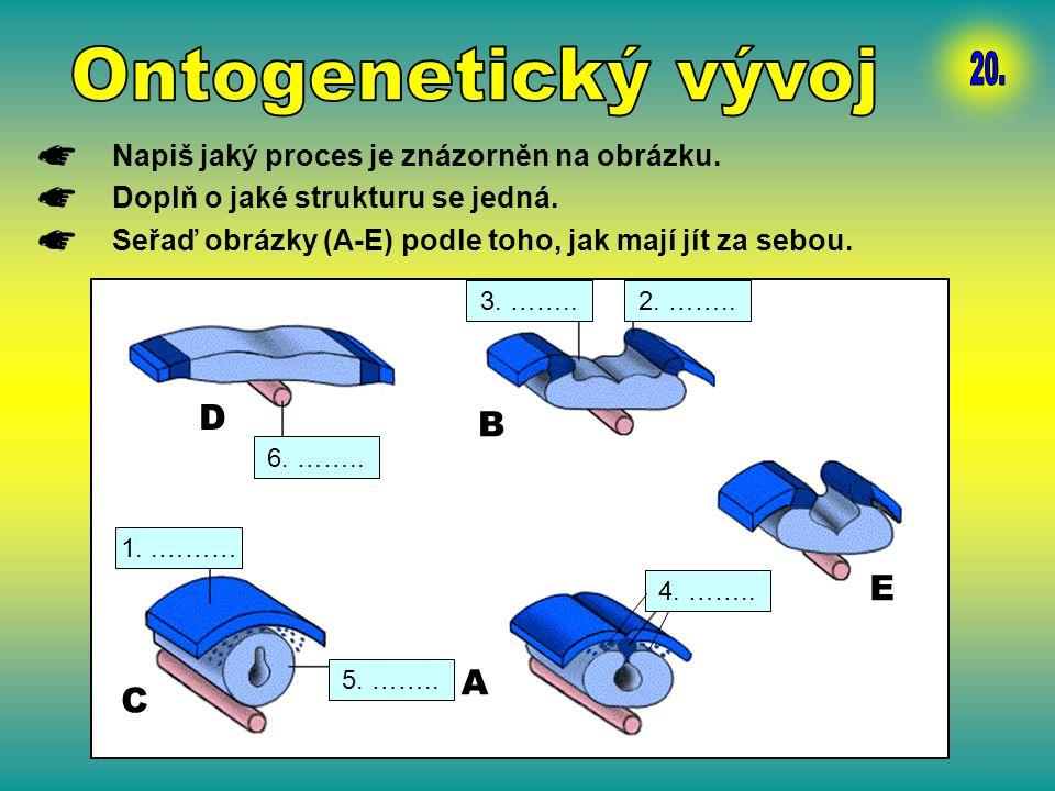 Ontogenetický vývoj 20. D B E A C