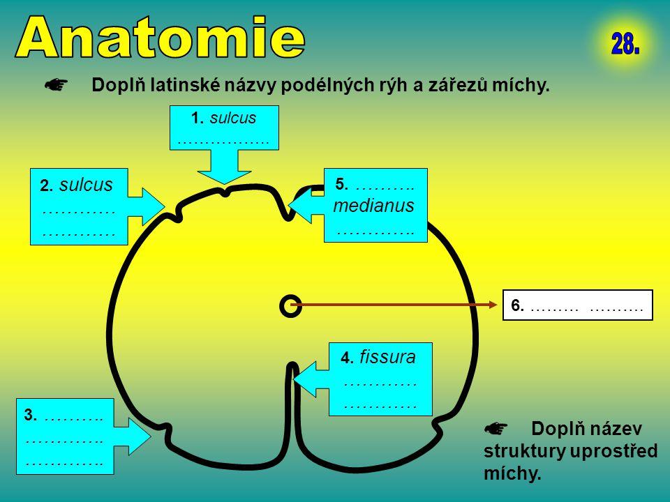 Anatomie 28. Doplň latinské názvy podélných rýh a zářezů míchy. …………