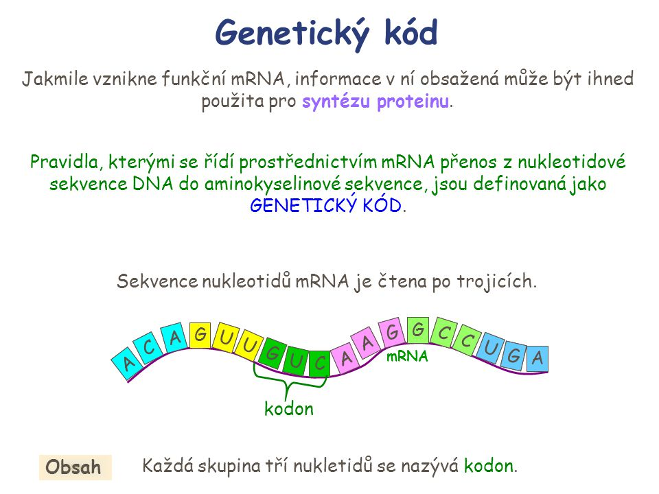 Genetický kód Jakmile vznikne funkční mRNA, informace v ní obsažená může být ihned použita pro syntézu proteinu.
