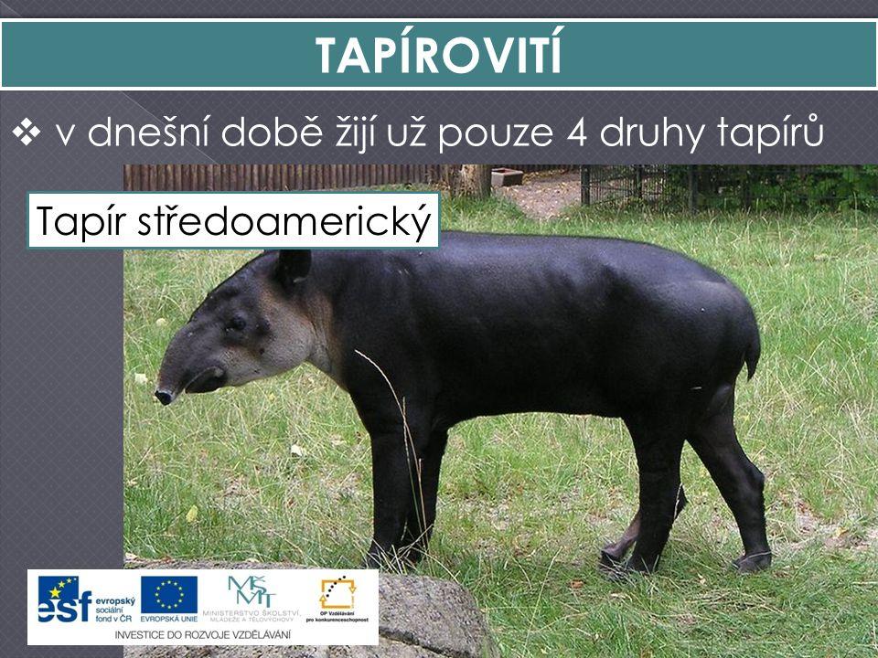 TAPÍROVITÍ v dnešní době žijí už pouze 4 druhy tapírů