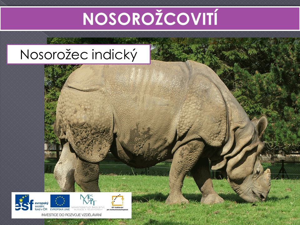NOSOROŽCOVITÍ Nosorožec indický Nosorožec tuponosý Nosorožec dvourohý