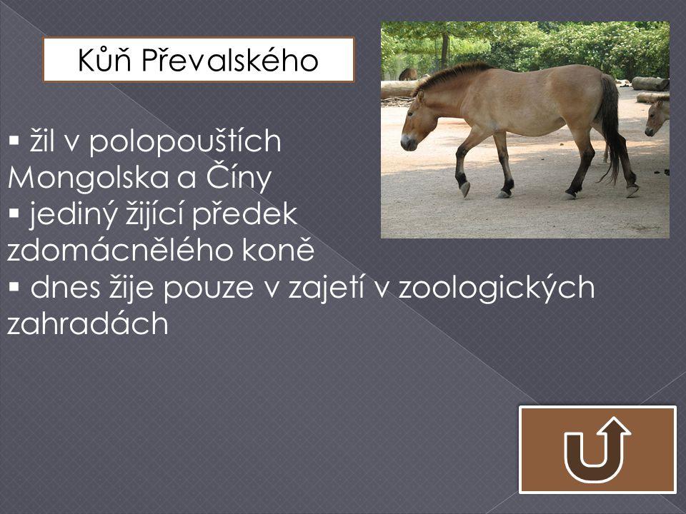Kůň Převalského žil v polopouštích. Mongolska a Číny.