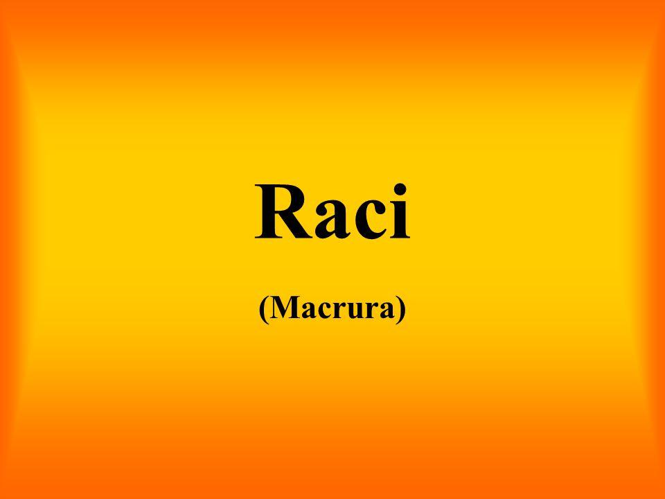 Raci (Macrura)