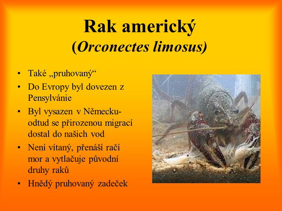 Rak americký (Orconectes limosus)