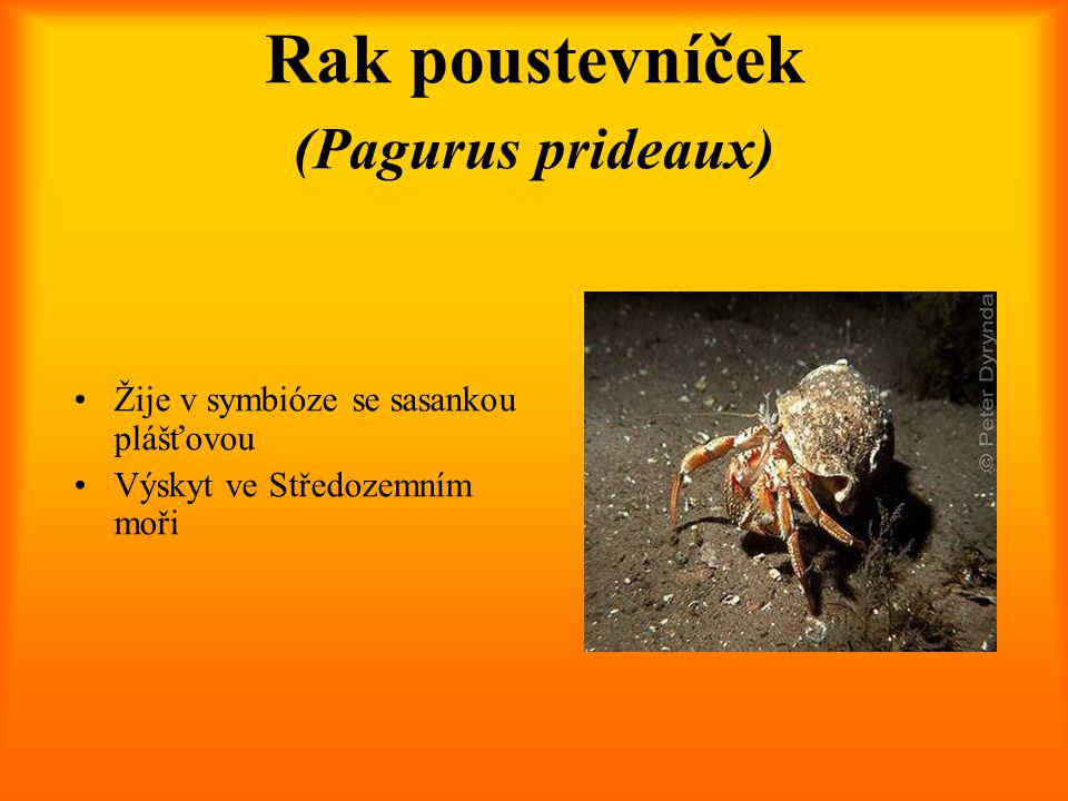 Rak poustevníček (Pagurus prideaux)