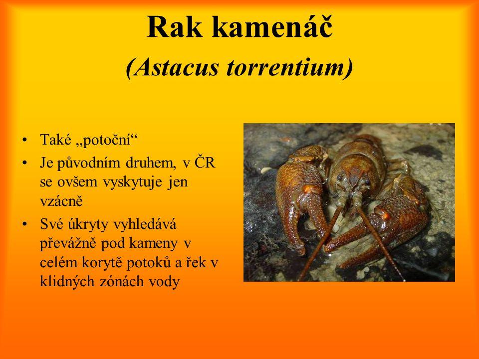 Rak kamenáč (Astacus torrentium)