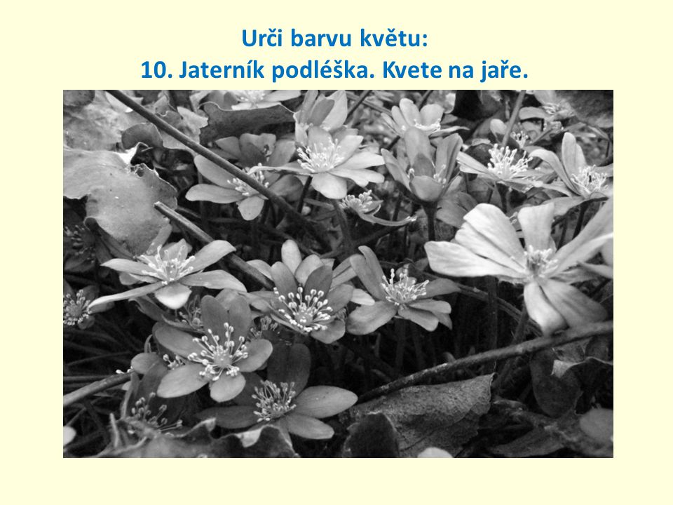 Urči barvu květu: 10. Jaterník podléška. Kvete na jaře.