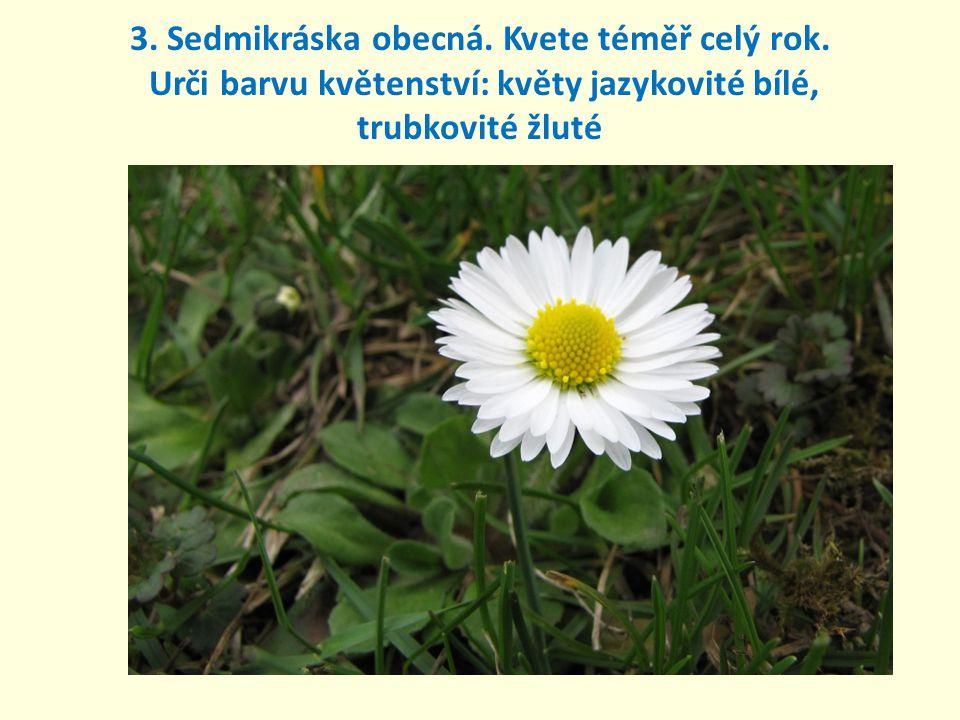 3. Sedmikráska obecná. Kvete téměř celý rok