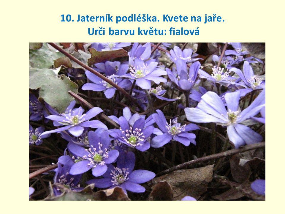 10. Jaterník podléška. Kvete na jaře. Urči barvu květu: fialová