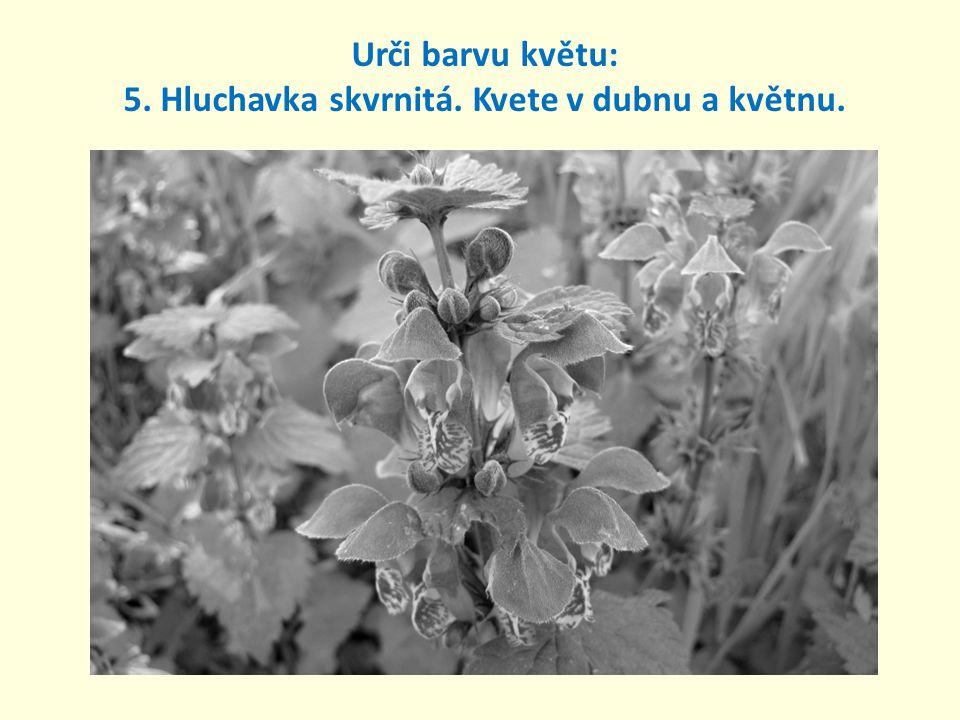 Urči barvu květu: 5. Hluchavka skvrnitá. Kvete v dubnu a květnu.