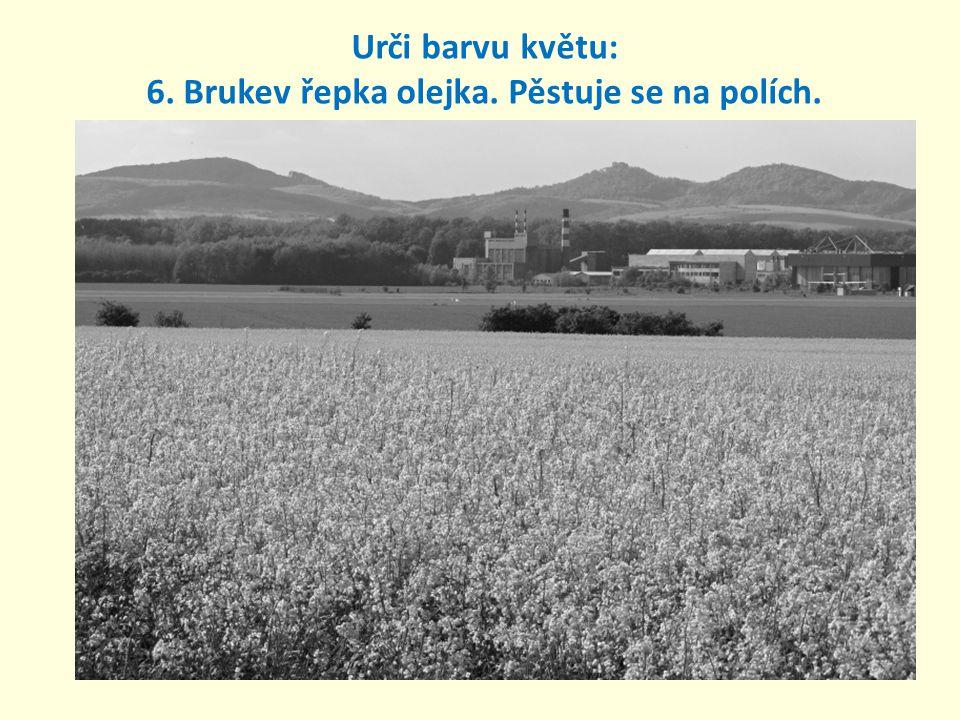 Urči barvu květu: 6. Brukev řepka olejka. Pěstuje se na polích.