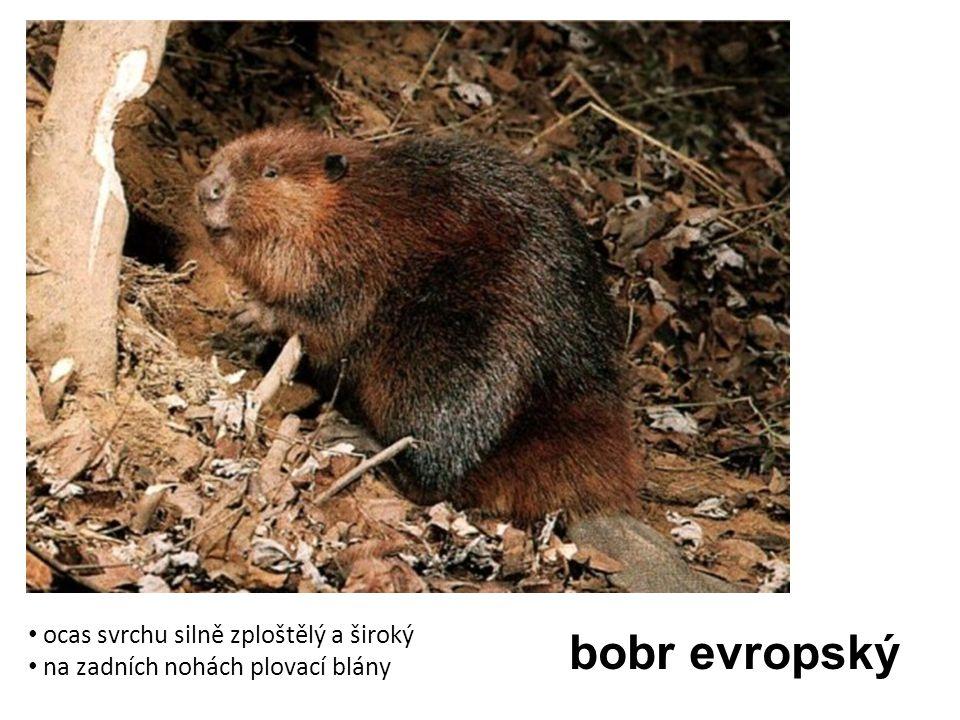 bobr evropský ocas svrchu silně zploštělý a široký