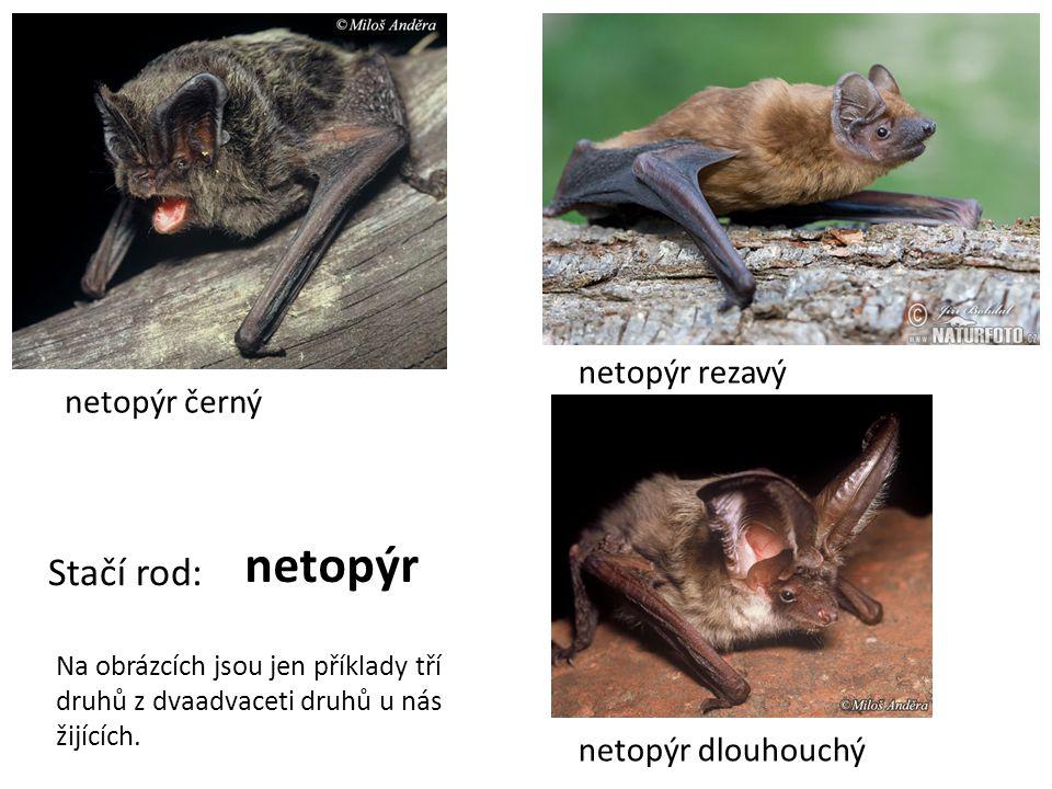 netopýr Stačí rod: netopýr rezavý netopýr černý netopýr dlouhouchý