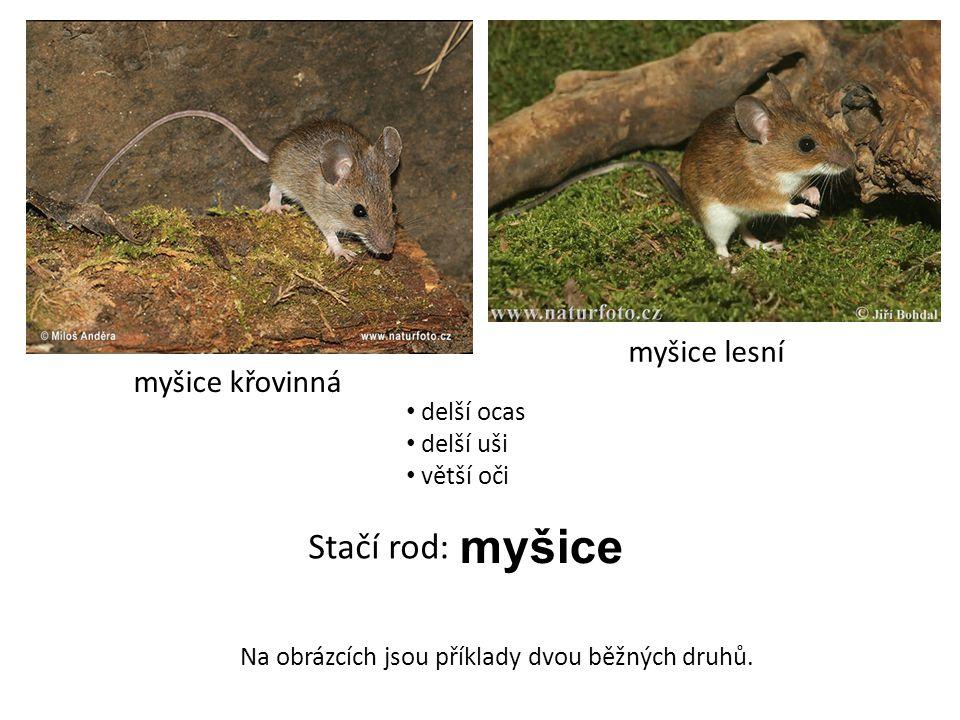 myšice Stačí rod: myšice lesní myšice křovinná delší ocas delší uši