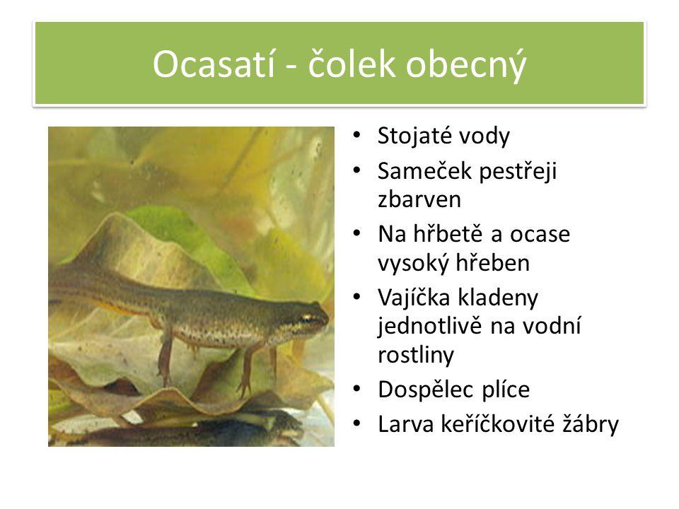 Ocasatí - čolek obecný Stojaté vody Sameček pestřeji zbarven