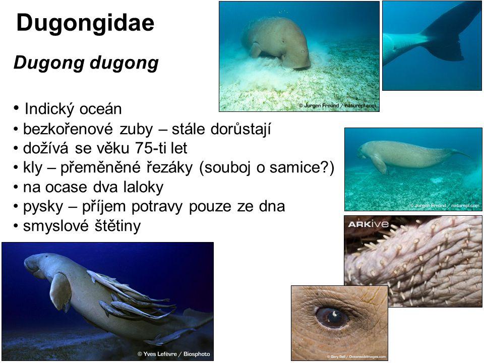 Dugongidae Dugong dugong Indický oceán