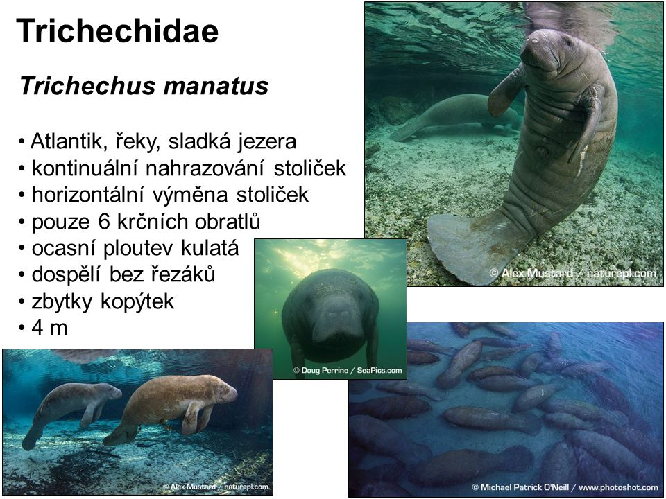 Trichechidae Trichechus manatus Atlantik, řeky, sladká jezera
