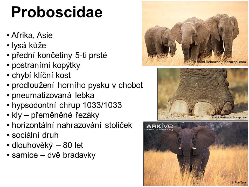 Proboscidae Afrika, Asie lysá kůže přední končetiny 5-ti prsté
