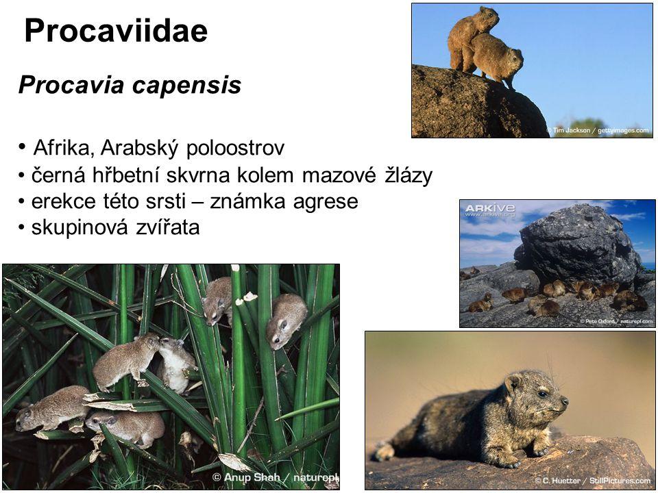 Procaviidae Procavia capensis Afrika, Arabský poloostrov