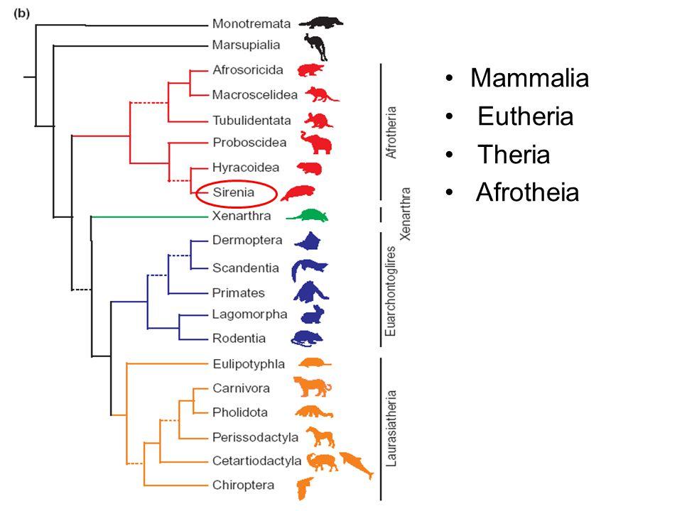 Mammalia Eutheria Theria Afrotheia