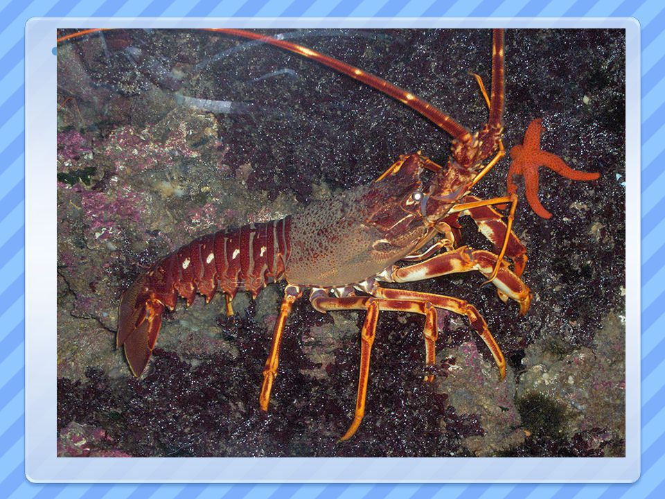 LANGUSTA - tropičtí mořští živočichové - loveni pro gastronomii