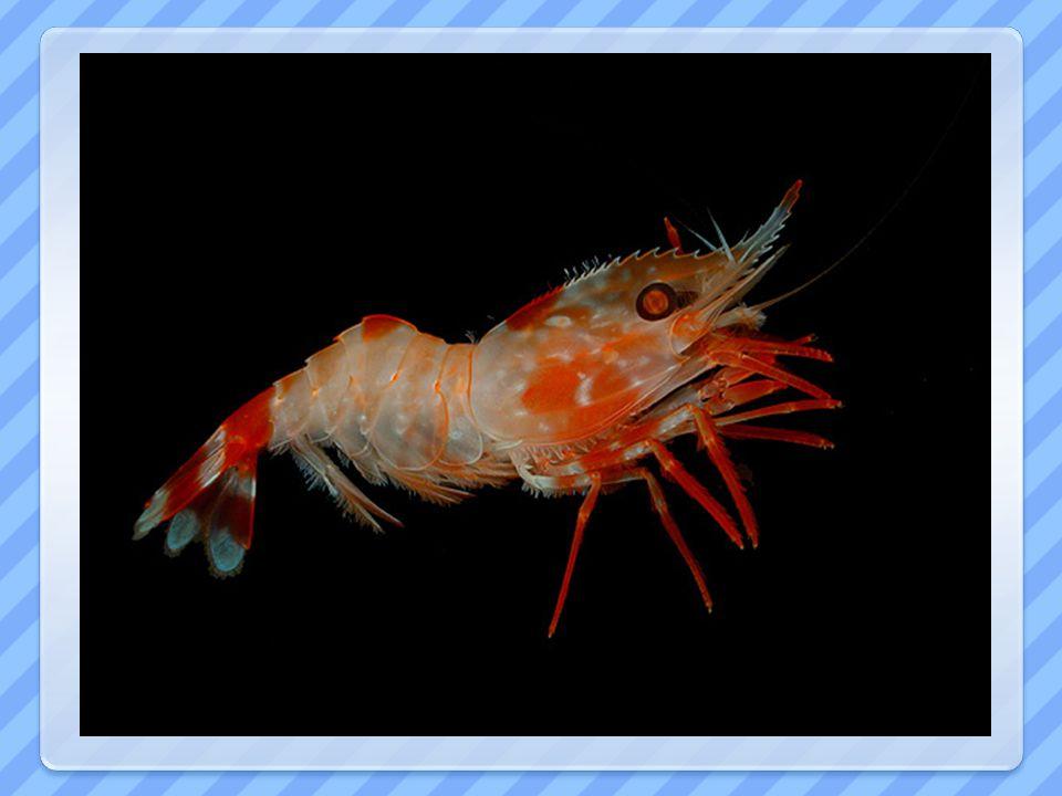 KREVETY -sladkovodní i mořské - gastronomie - akvaristika