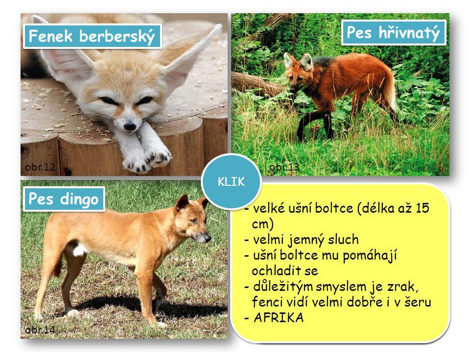 Pes hřivnatý Fenek berberský Pes dingo velké ušní boltce (délka až 15