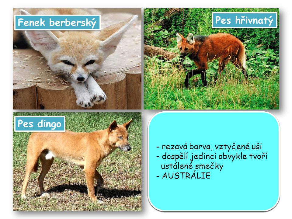 Pes hřivnatý Fenek berberský Pes dingo připomíná lišku s dlouhýma