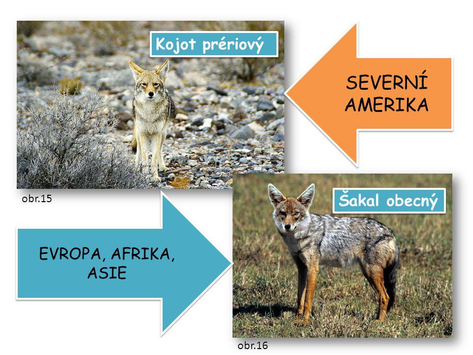 SEVERNÍ AMERIKA Kojot prériový Šakal obecný EVROPA, AFRIKA, ASIE