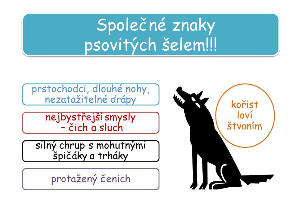 Společné znaky psovitých šelem!!!
