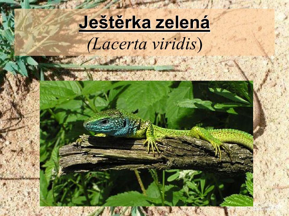 Ještěrka zelená (Lacerta viridis)