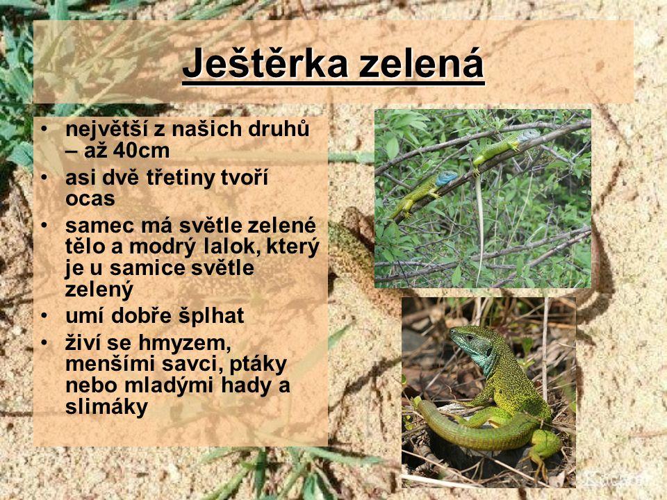 Ještěrka zelená největší z našich druhů – až 40cm