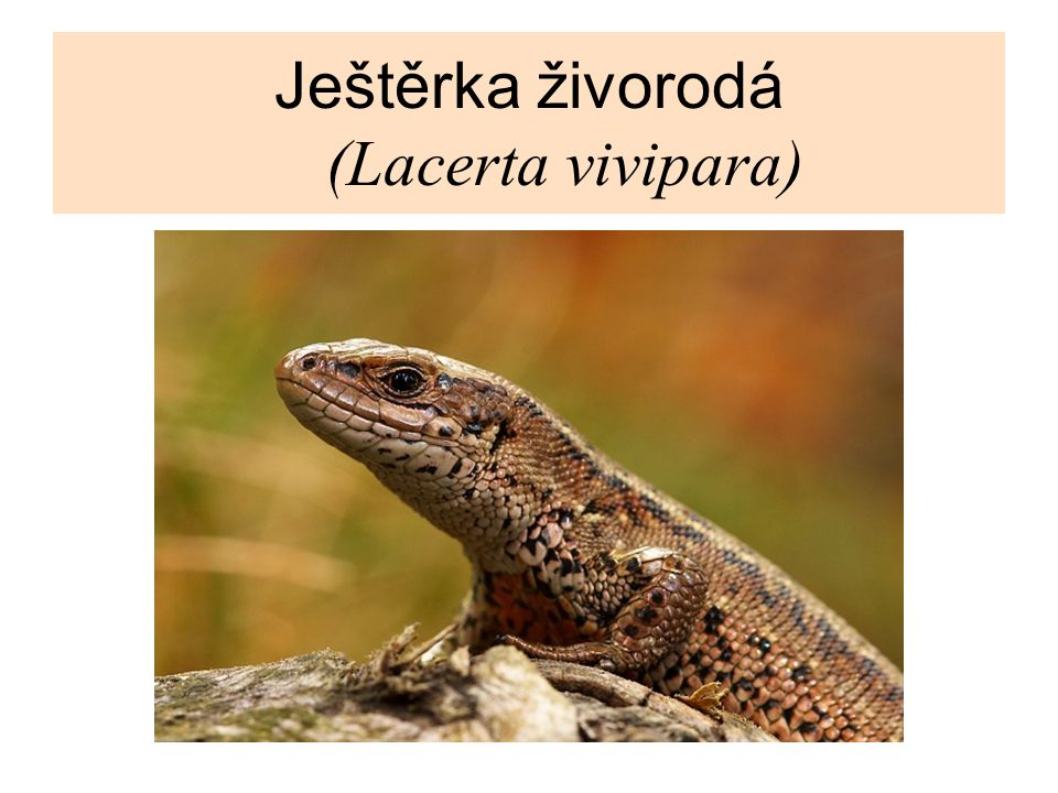 Ještěrka živorodá (Lacerta vivipara)