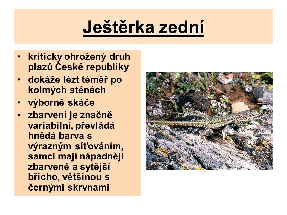Ještěrka zední kriticky ohrožený druh plazů České republiky
