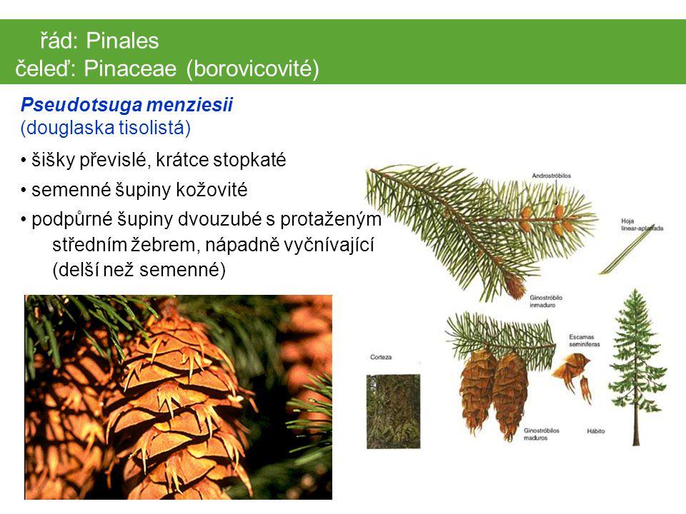 čeleď: Pinaceae (borovicovité)